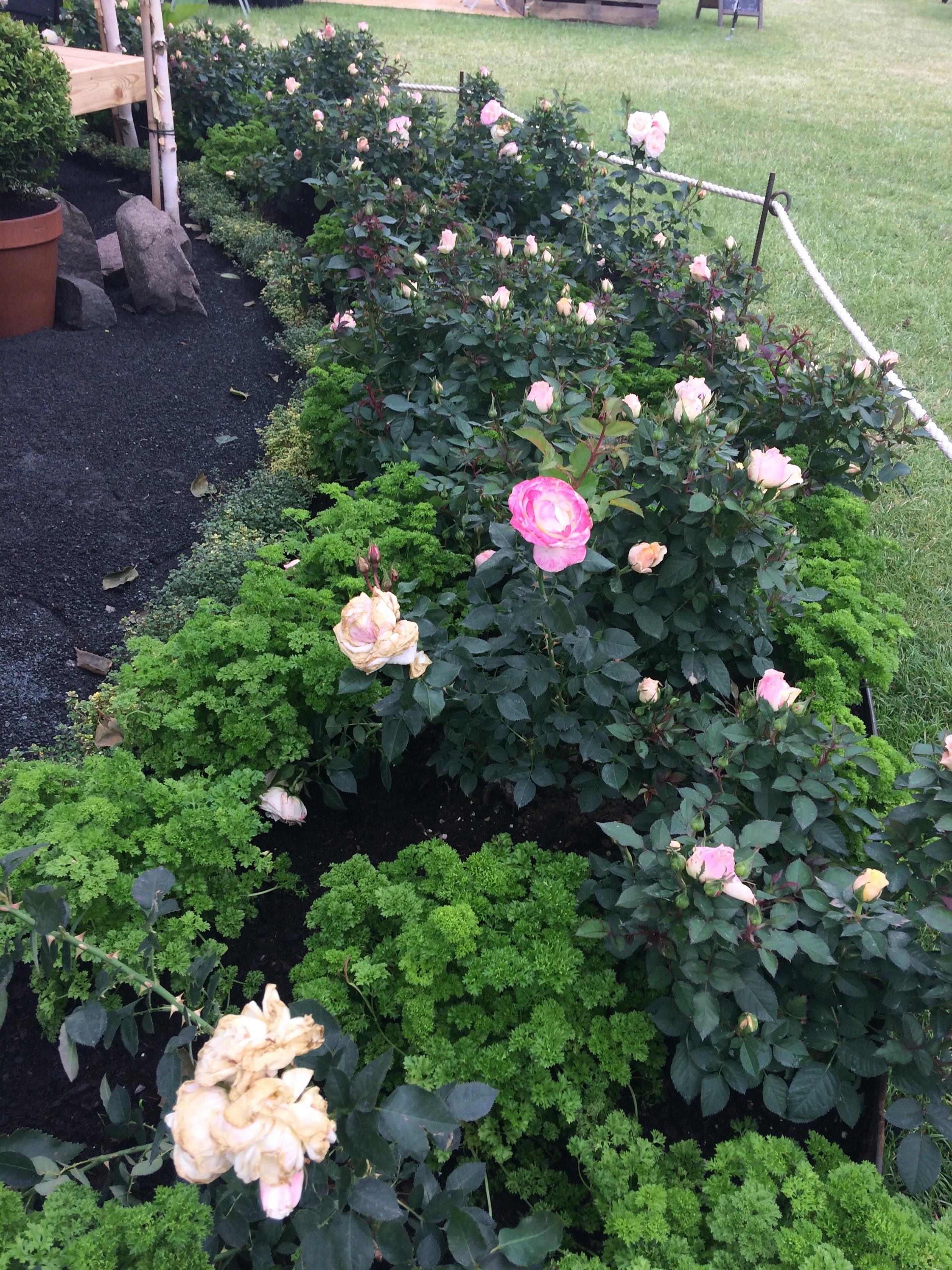 roser med persille