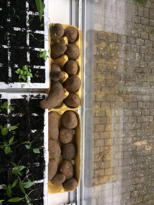 kartofler forspiring