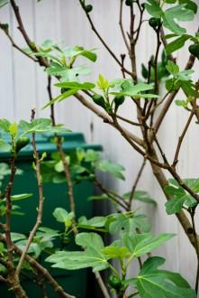 Figentræet giver hvert år cirka 30 modne figner