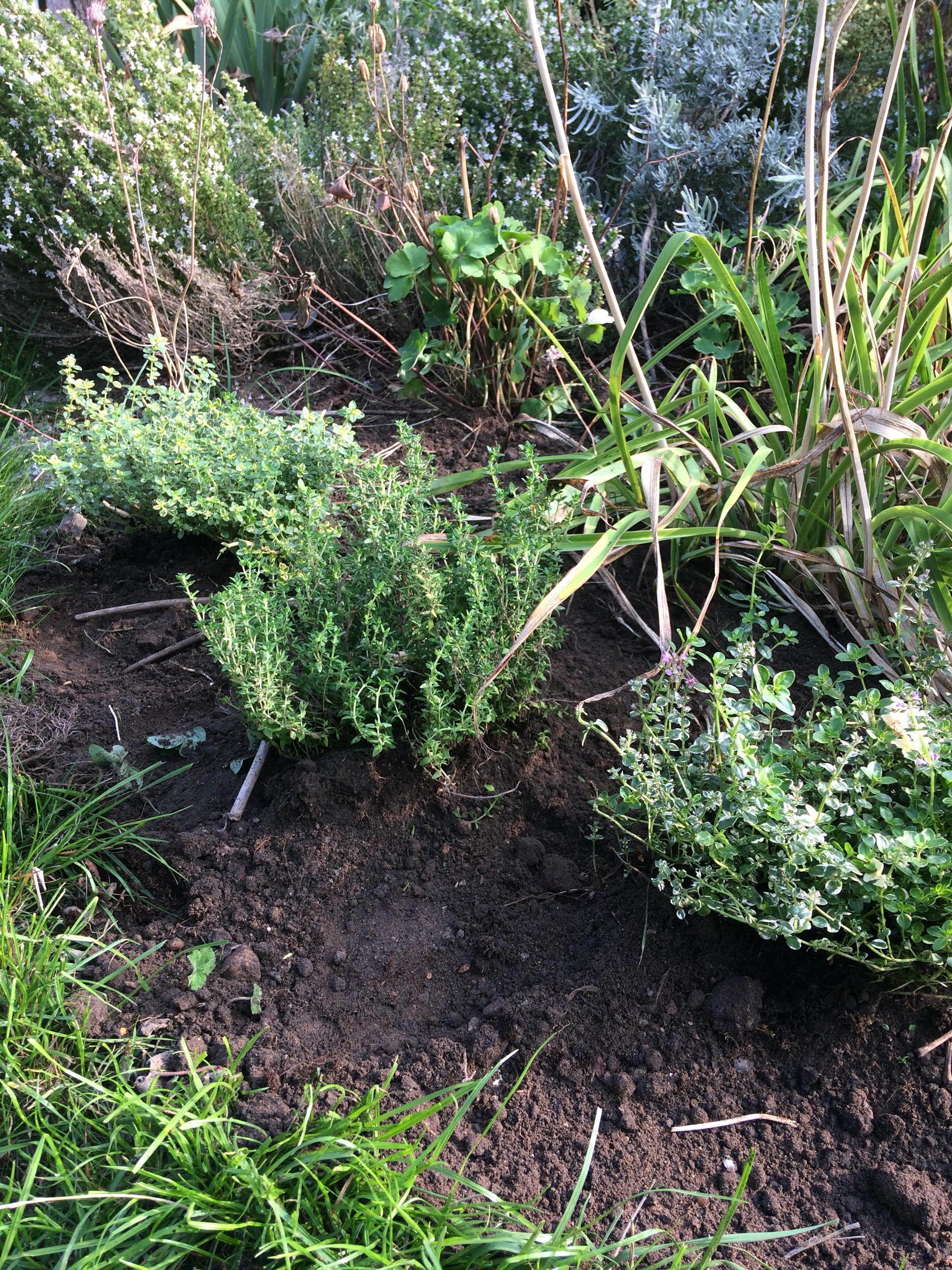 krydderurter her timian plantet ud i det nye sydeuropæiske bed